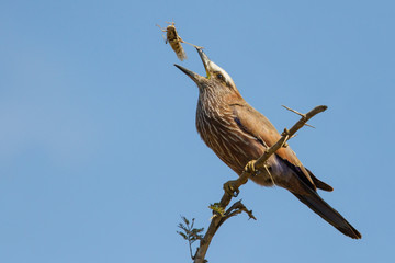 Purple roller sit on branch eating grasshopper