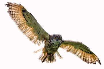 Eagle owl flying towards camera