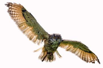 Eagle owl flying towards camera
