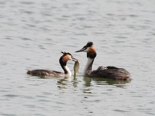 Great Crested Grebe (Podiceps cristatus)-couple with a prey.