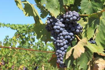 Grappoli di uva nera - Row of black grapes