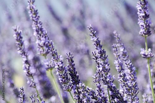 Closeup of lavender - 55377945