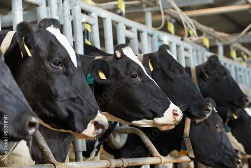 Plexiglas Koe Cows herd during milking at farm