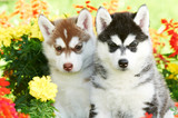 two Siberian husky puppy dog in flowers