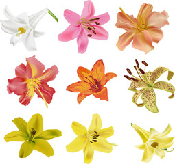 nine isolated lily flowers collection