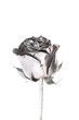 The photo of beautiful silver rose