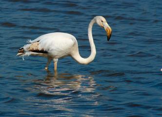 Phoenicopterus ruber, flamingo, in natural enivironment,