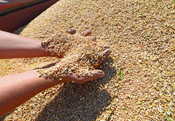 Grain from the combine hopper into the hands of the farmer