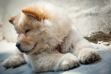 Cute puppy chow chow