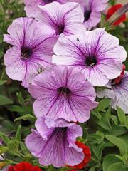 Petunia Cascade