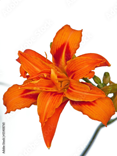 Day Lily (Hemerocallis) in Full Bloom