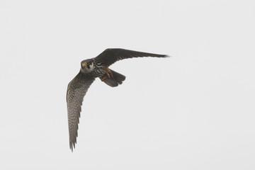Hobby, Falco subbuteo