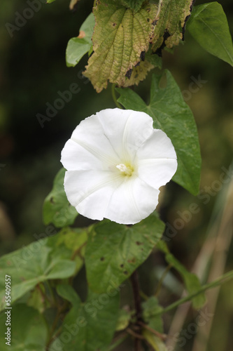 Hedge bindweed, Calystegia septium
