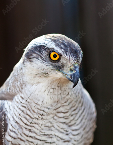 Hawk goshawk head