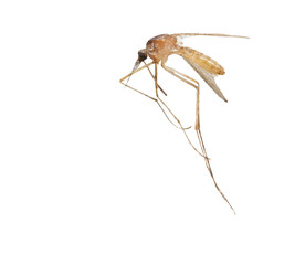 mosquito on a white background. macro