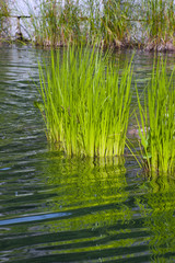 White Rush Pond Plant