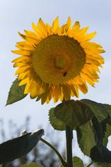 Junge Sonnenblume