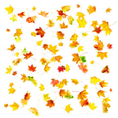 Multi colored falling autumn maple leaves isolated on white