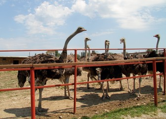 Ostrich in a group