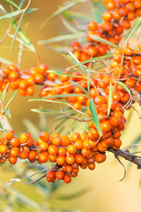 Sea buckthorn berries on a branch