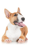 happy red miniature bull terrier puppy
