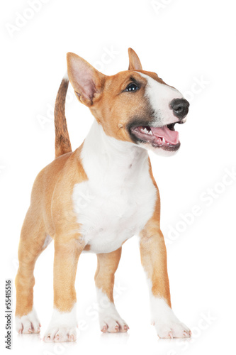 adorable miniature bull terrier puppy