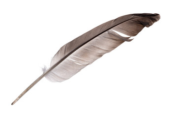 single dark grey feather isolated on white
