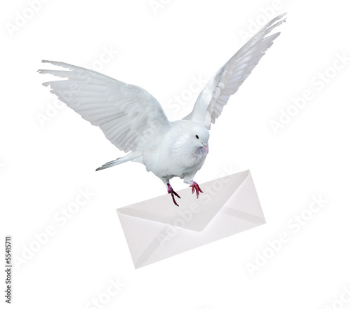 dove carrying envelope isolated on white