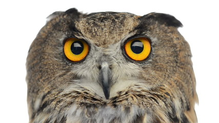 Close-up of an Eurasian eagle owl looking at the camera