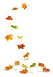Maple autumn leaves falling to the ground, on white background. - 55418737
