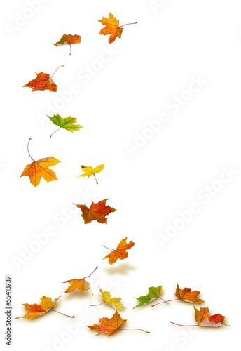 In de dag Planten Maple autumn leaves falling to the ground, on white background.
