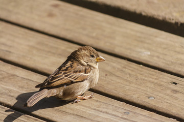 house sparrow sunbathing on wooden boards