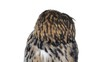 Close-up of Eurasian eagle owl looking around