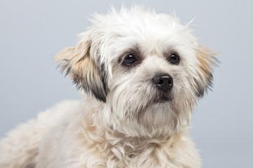 White boomer dog isolated against grey background. Studio portra
