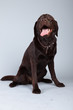 Brown labrador dog isolated against grey background. Studio port