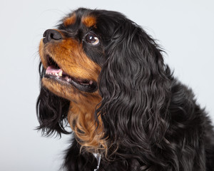 Senior cavalier king charles spaniel black and brown isolated ag