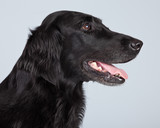 Black flatcoated retriever dog isolated against grey background.