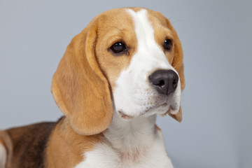 Adorable puppy beagle dog isolated against grey background. Stud