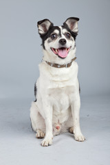 Mixed breed dog black and white isolated against grey background