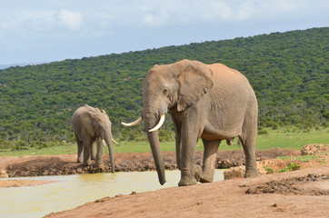 African animals, elephants near waterhole, South Africa