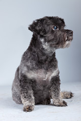 Funny mixed breed grey boomer dog isolated against grey backgrou