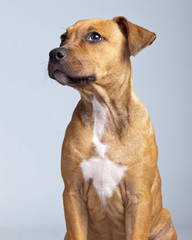 Adorable puppy boxer dog isolated against grey background. Studi