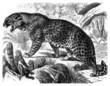 Leopard (Felis Pardus)