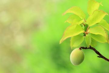 優しい気持ちの梅の実