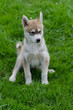 Puppy of alaskan husky