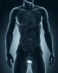 Man testes anatomy anterior view