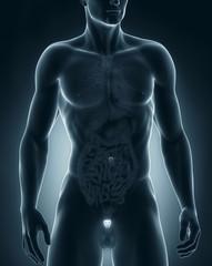 Man prostate anatomy anterior view