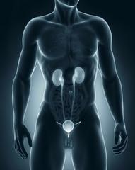Man urinary system anatomy anterior view