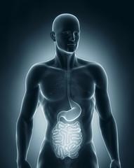 Man digestive system anatomy anterior view