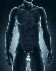 Man genitals anatomy anterior view